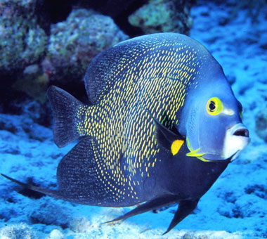 Dykresor till Turks and Caicos med phtravel.se. Angelfish